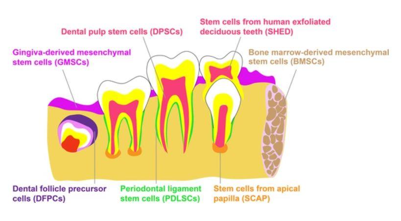 Células troncales mesenquimales perivasculares
